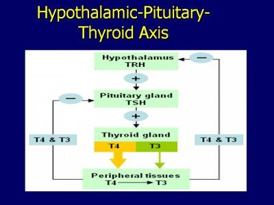 thyroid hormone axis.jpg